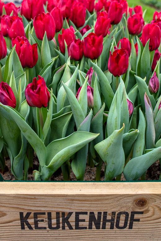 Tulpen rot Tulip Keukenhof Holland Virginie Varon
