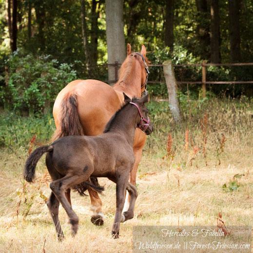 Anfang August 2018: Hercules, acht Wochen alt, mit seiner Fuchsfriesen Mutter Fabella.  | www.waldfriesen.de www.forest-friesian.com