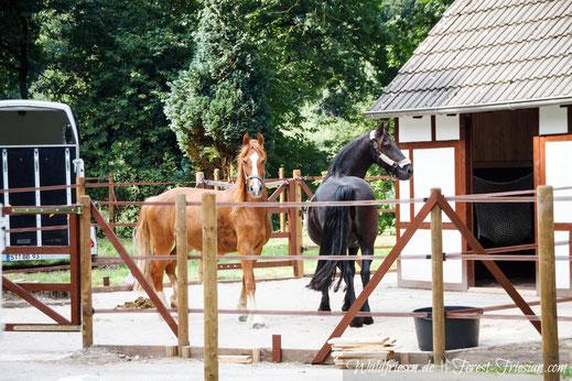 Valina und Nienke www.forest-friesian.com fuchsfriesen chestnut friesians