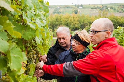 Weingut E & C Hirsch Watzelsdorf Qualität der Trauben im Weingarten