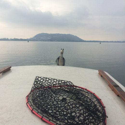 Felchen, Bielersee, Fischen, Gambe, Hegene, Renke, angeln, Felchenrute, Fischreiher