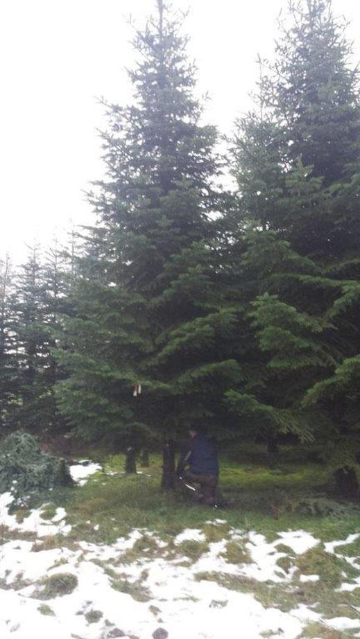 Dieser schöne Baum wird unsere Kirche zieren.