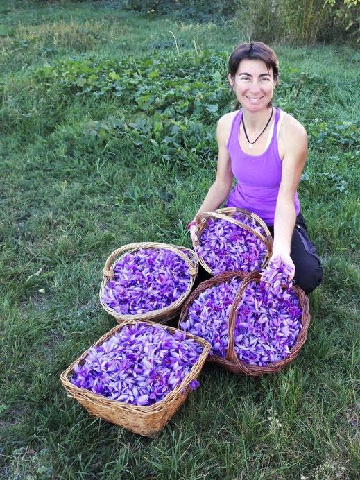 1 journée de récolte de safran bio chez Safran de Pyrène (Ariège, France)