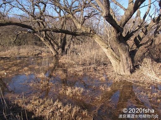 画像:2020/01/29 柳の根元が水に浸った。
