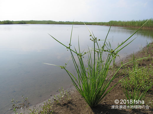 画像:2018/07/24第二調節池のほとりのタマガヤツリ