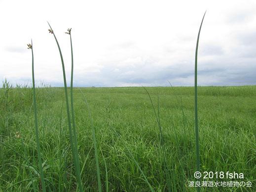 画像:2018/06/16 ヨシ、ミコシガヤ、コウガイゼキショウなどの草原に伸びるフトイ