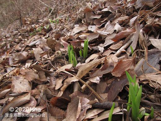 画像:2020/02/26 ヤブカンゾウの芽