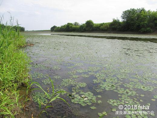 画像:2018/06/09池内水路のコオニビシの葉と白い花