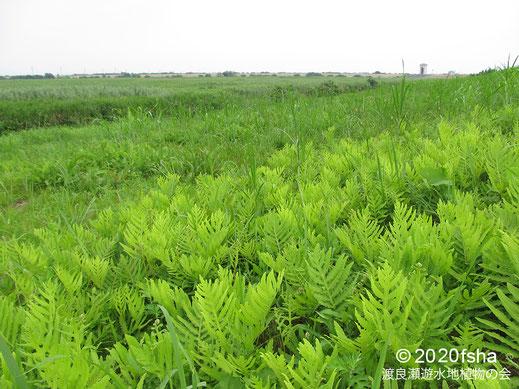 画像:2020/08/08 コウヤワラビ
