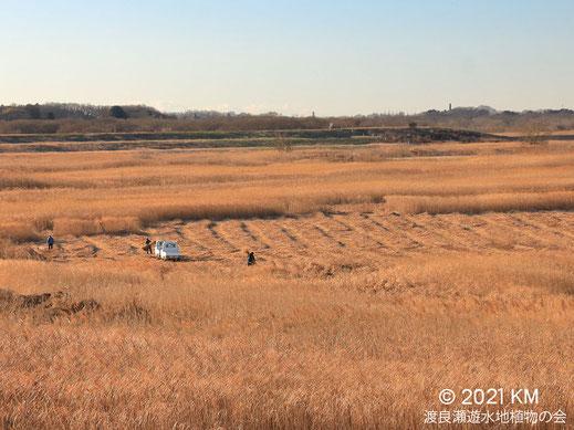 画像:2021/01/19 ヨシ刈り最盛期