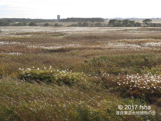 画像:2017/11/11  第3調節池のオギ原