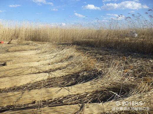画像:01/10 渡良瀬遊水地のヨシ刈り。