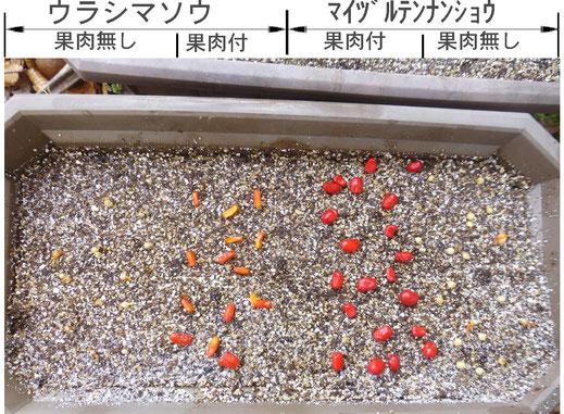 マイヅルテンナンショウ発芽実験のための播種の画像