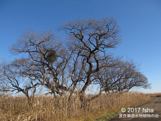画像:2017/12/09 風景 ヤドリギ