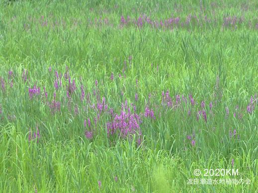 画像:2020/07/16 エゾミソハギ