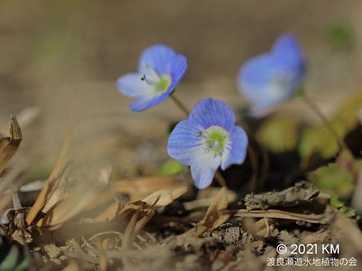 画像:2021/03/02 オオイヌノフグリ