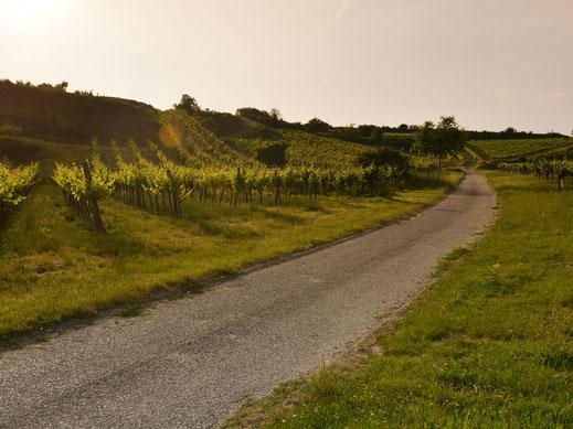Schmale Wege führen durch die Weingärten der Region Wagram
