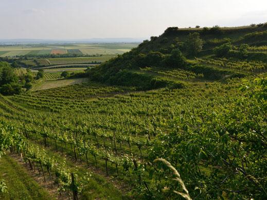 Blick über die Weingärten der Region Wagram