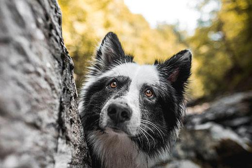 Schwarz weisser Jakutian Laika mit bernsteinfarbenen Augen beim Hundeshooting während dem Coaching von Monkeyjolie zur Manuelle Fotografie für authentische Hundefotos
