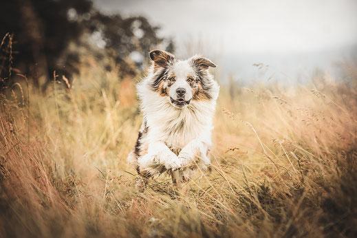 Blue Merle Australien Shepherd rennt durch ein wildes Kornfeld fotografiert von der Hunde Fotografin Monkeyjolie in der Ostschweiz