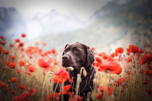 Brauner Labrador Retriever in einer Wildblumen Wiese voller Roter Klatschmohn fotografiert von der Abenteuer Hunde Fotografin Monkeyjolie Ostschweiz