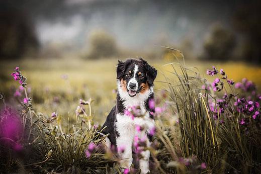 Black tri Australien Shepherd vom Fahrwinkel in einer gelben Blumenwiese festgehalten von der Hundefotografin Monkeyjolie in der Ostschweiz
