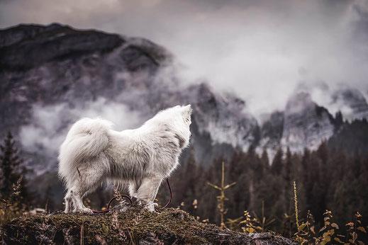 weisser Schlittenhund  in den Bergen auf einem Felsen festgehalten von Monkeyjolie in Graubünden