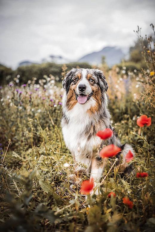 Blue Merle Australien Shepherd sitzt  in einer Mohnblumen Wiese fotografiert von der Abenteuer Hunde Fotografin Monkeyjolie Ostschweiz