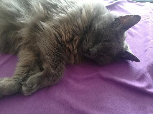 Chat gris à poils longs couché sur une serviette violette.
