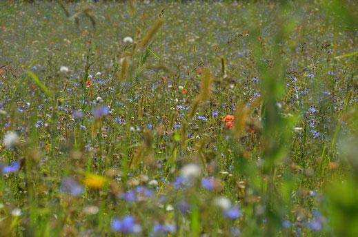 unsere Blühwiese © Ingrid Schubert