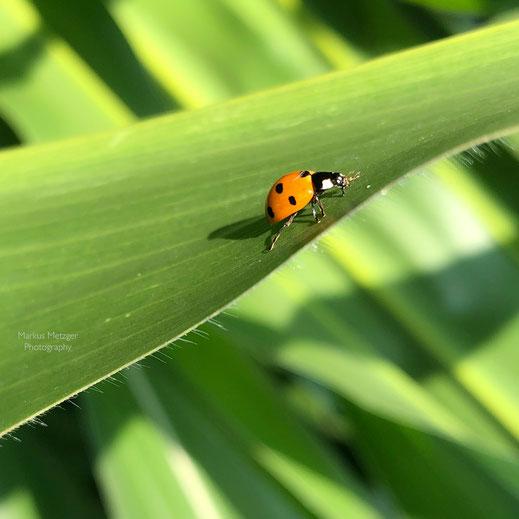 Tier, Natur und Umwelt, Fotos im Rems-Murr-Kreis: Glückskäfer im Maisfeld