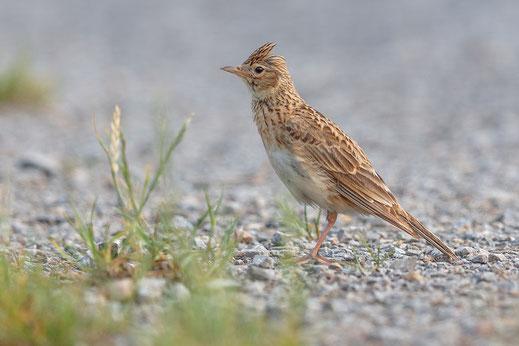 Feldlerche Vogel des Jahres 2019 LBV braun Lerche