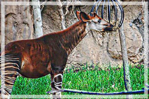 Das Okapi ist auch im Kongobecken heimisch.