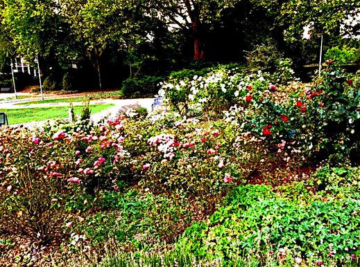 """Dieses Bild zeigt einen blühenden Rosengarten. Der Text befasst sich mit dem Lied: """"Komm mit nach Varazdin, solange noch die Rosen blühn""""."""