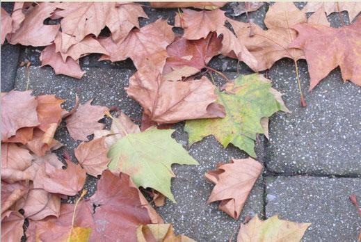 """Dieses Bild zeigt auf den ersten Blick """"Ahornblätter"""" auf einem Gehweg. Es handelt sich jedoch um die bLätter einer Platane."""