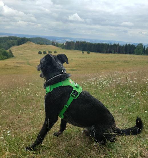 Matt Hund - Blick in die Ferne