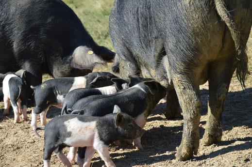 Domaine les Monges - porcs - Saint Benoit