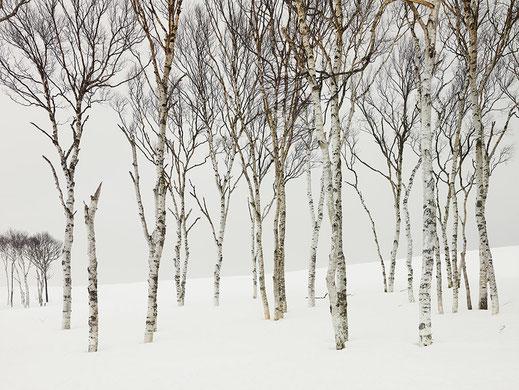 """Josef Hoflehner, """"Field Birches, Japan"""", 2012, 80 x 100 cm, Auflage: Edition 7 Stück"""