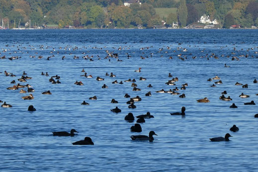 rastende Wasservögel am Starnberger See © Andrea Gehrold