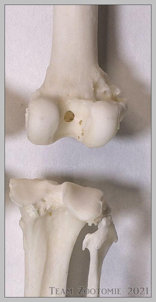 Rechtes Hinterbein - Kniegelenk Articulatio genus anatomisch freigelegt
