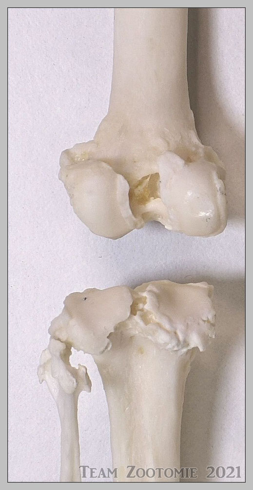 Linkes Hinterbein - Kniegelenk Articulatio genus anatomisch freigelegt