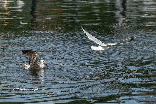 silbermoewe vogel flug wasser
