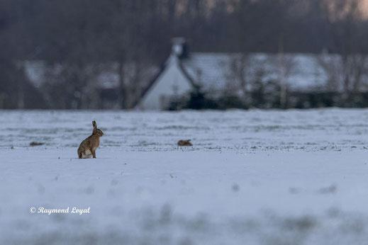 european hare sitting on snow field