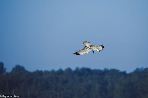 fischadler greifvogel flug