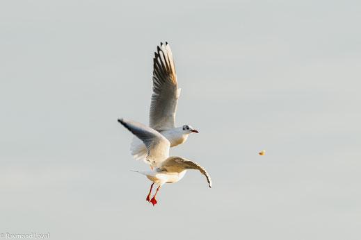 Lachmöwen versuchen Brot zu fangen, daß zur Fütterung in die Luft geworfen wurde