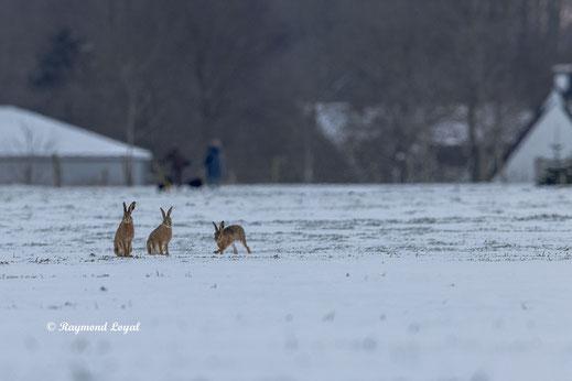 European Hares sitting on snow field