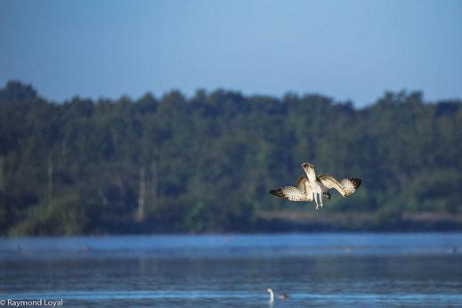 fischadler greifvogel sturzflug