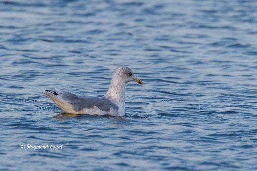 silbermoewe vogel schwimmen wasser