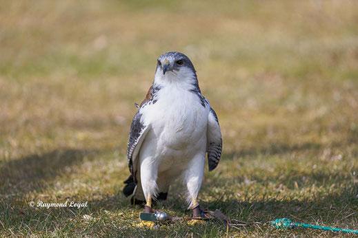 rotrueckenbussard vogel portrait