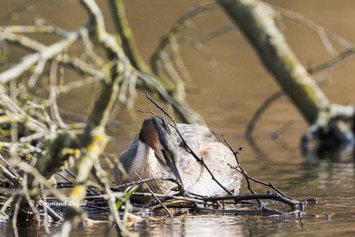 haubentaucher beim nestbau